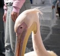 Mykonos Mascot Pelicans
