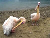 Mykonos Town Pelicans