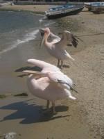Mykonos Mascots Considering a Swim