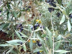 Olive Tree: Main Agricultural Production of Messinia