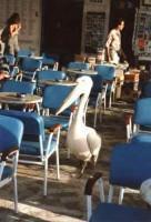 Mykonos Town Pelican Among Us